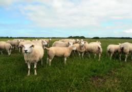 pasning af får